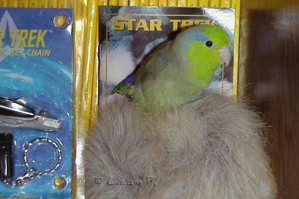 Austin the Parrotlet